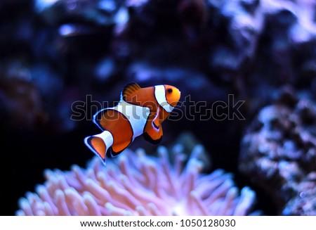 Clown fish enjoy in magnifica anemone