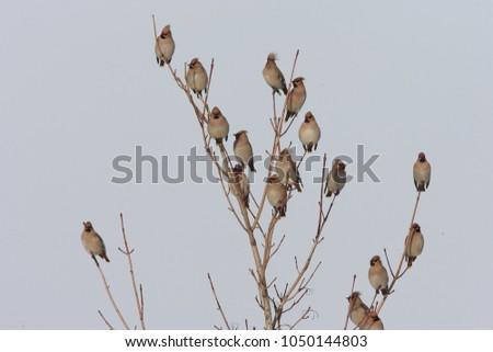 Bohemian waxwing (Bombycilla garrulus) Germany  #1050144803