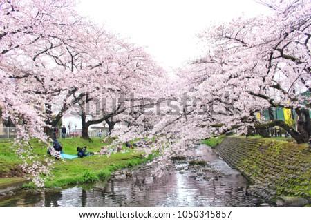 Tokyo, Japan - April 3, 2016: Japanese people picnic under sakura trees in full bloom in spring at Negawa river, Tachikawa, picnic in cherry blossom festival. #1050345857