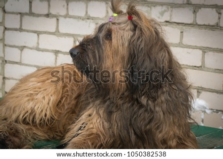 Portrait of a French Shepherd - Briard. Close-up. Dogs. #1050382538