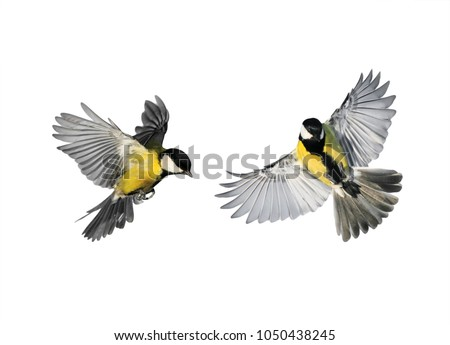 a couple of little birds chickadees flying toward spread its wings and feathers on white isolated background #1050438245