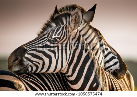 A serene moment in a Zebra herd as two family members rest their heads on each other at the end of the day as the sun sets in the distance Royalty-Free Stock Photo #1050575474