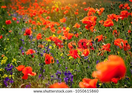 Summer floral background of nature - flowers of red poppies. Summer landscape with red poppies . #1050615860