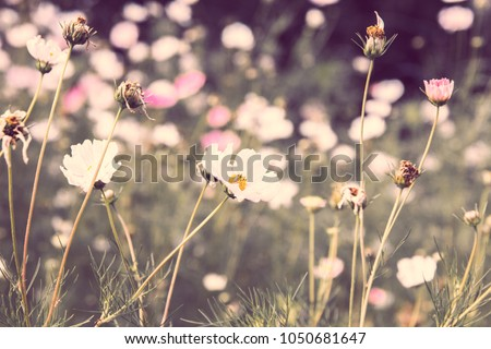 Flowers cosmos pink and white, illuminated by the sun on the flowerbed #1050681647