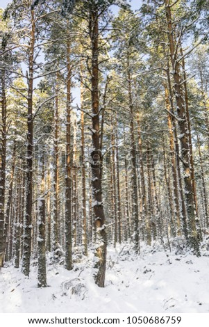 Winter scene at Abernethy Forest In the Cairngorms National Park of Scotland. #1050686759