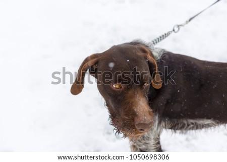German hunting watchdog drahthaar, Beautiful dog portrait in winter #1050698306