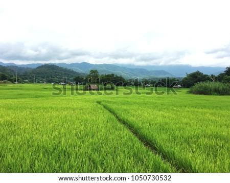 Green rice field  in Thailand #1050730532