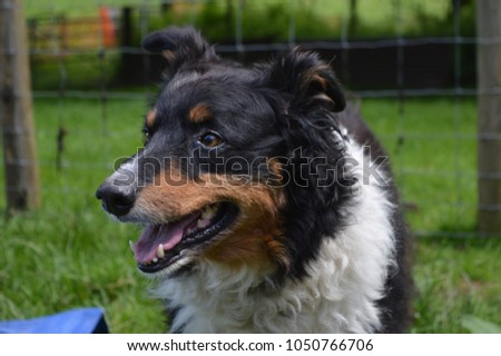 A border collie overlooking a herd of sheep #1050766706