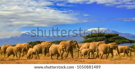 Herd of african elephants taken on a safari trip to Kenya with a snow capped Kilimanjaro mountain in Tanzania in the background, under a cloudy blue skies. #1050881489