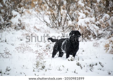 A black labrador walks on a snowy road on a winter frosty day. #1050981899