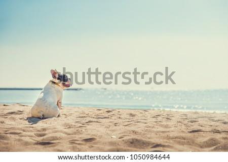 Portrait of french bulldog on the beach #1050984644