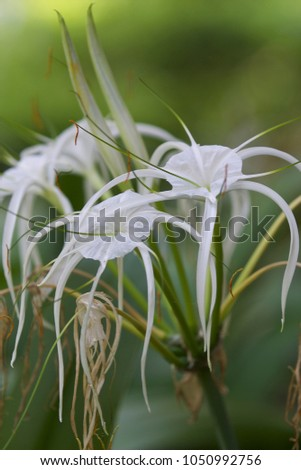 White tropical cultivated flowers with long petals, Myanmar #1050992756