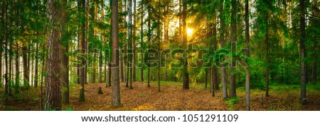 Panorama of a forest with the sunlight through the trees. High resolution Panoramic landscape