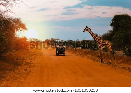 A jeep stops while a Giraffe crosses the road during a Safari in Kenya, with the sunset lights creating a breathtaking atmosphere #1051333253