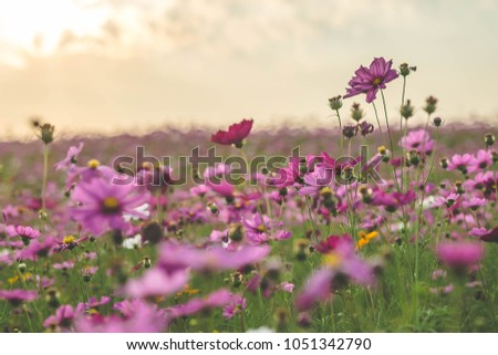 Pink and red cosmos flower field in the garden with sunset background #1051342790