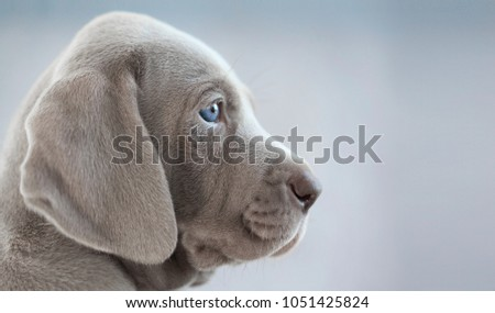profile of a puppy weimaraner, on a grey background #1051425824