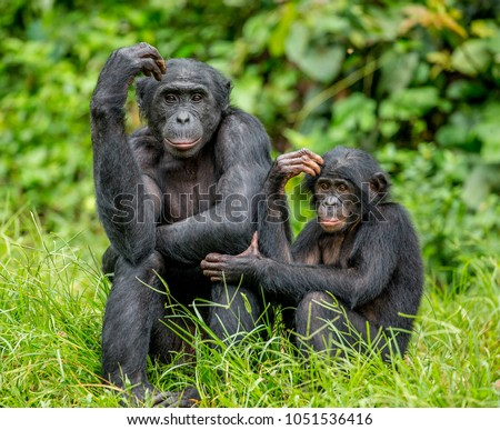 Female bonobo with a baby is sitting on the grass. Democratic Republic of the Congo. Africa. #1051536416