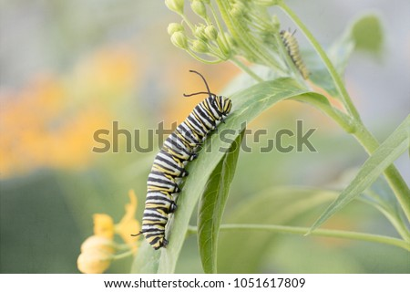 Photograph of a full grown monarch caterpillar on milkweed with a baby caterpillar in the background   #1051617809