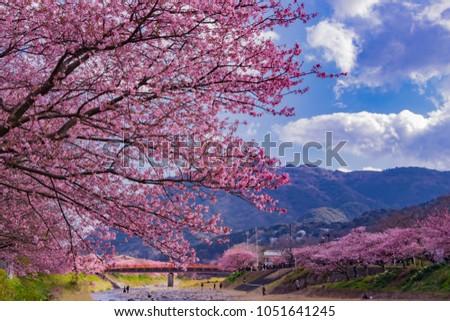 Beautiful cherry blossoms in Kawazu town #1051641245