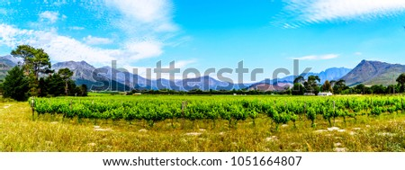 Vineyards of the Cape Winelands in the Franschhoek Valley in the Western Cape of South Africa, amidst the surrounding Drakenstein mountains #1051664807