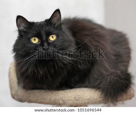 black fluffy cat #1051696544