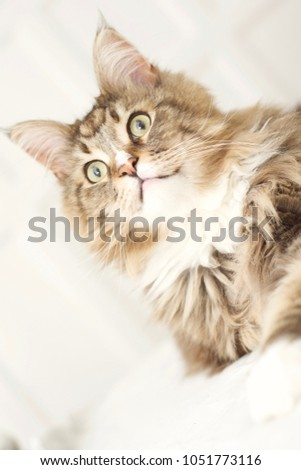Maine Coon cat. #1051773116