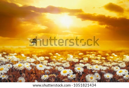 A lot of chamomile in summer meadow in nature in sunshine at sunset and a flying bumblebee. Beautiful summer landscape with field of daisies in golden colors of sunset. Summer wallpapers. #1051821434