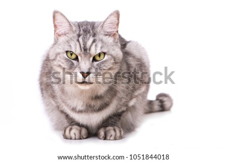 Silver tabby cat isolated on white background #1051844018
