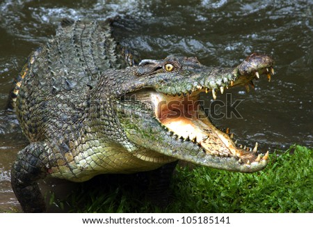 Australian crocodile. Royalty-Free Stock Photo #105185141
