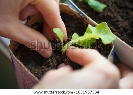 Two hands of woman carefully planting seedlings of salad in fertile soil in bigger pot. Taking care and growth concept. #1051957334