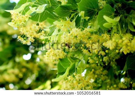 Fragrant Lime Flowers #1052016581