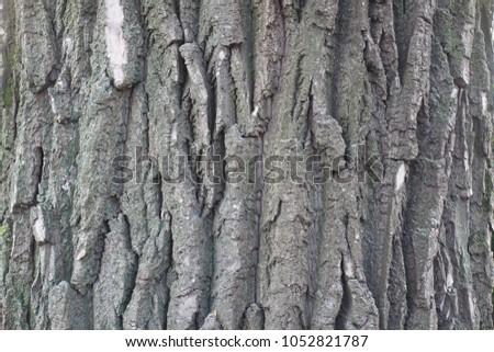 Dry grey bark of black poplar tree #1052821787