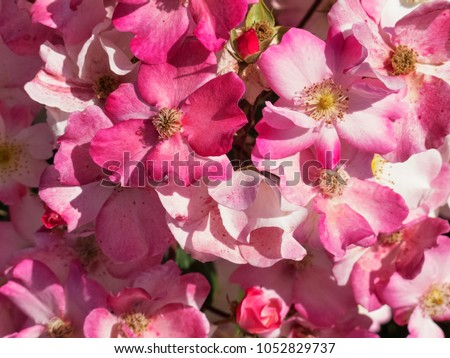 A shrub of giant pink roses in a rose garden , for the most part bloomy #1052829737