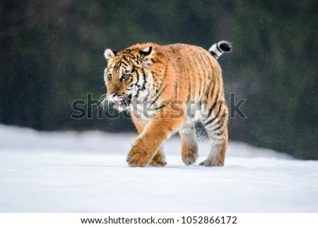 Siberian Tiger in the snow (Panthera tigris) #1052866172