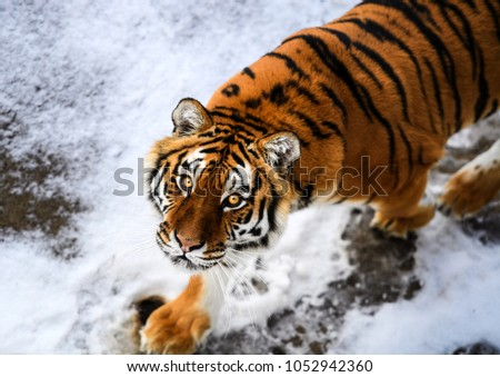 Beautiful Amur tiger on snow. Tiger in winter forest #1052942360