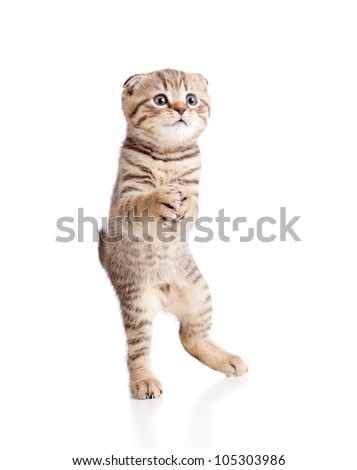 Funny playful kitten is dancing. Isolated on white background #105303986