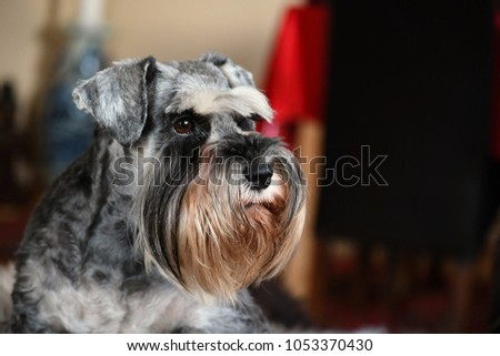 Miniature Schnauzer bitch with natural ears in pepper and salt color, champion and very typical breed representative #1053370430