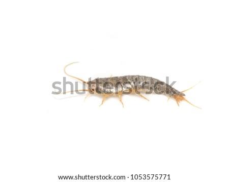 Primitive pest insect silverfish Lepisma saccharina isolated on white background