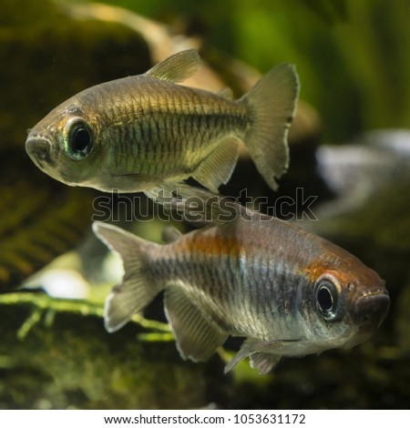 Tetra Congo in detail below the surface. #1053631172