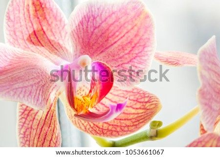 Pink orchid flower. Macro image, shallow depth of field