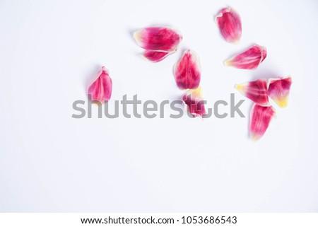 of Tulip petals #1053686543