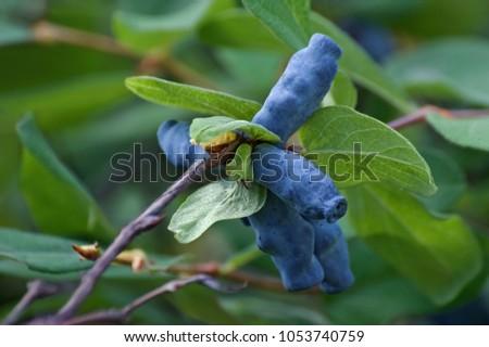 Blue honeysuckle (Lonicera caerulea var. edulis). Known also as Honeyberry, Blue-berry honeysuckle, Sweetberry honeysuckle and Haskap berry. Another scientific name is Lonicera edulis. #1053740759
