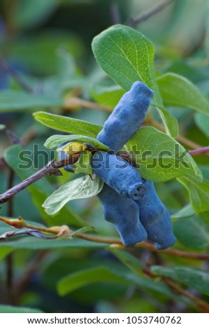 Blue honeysuckle (Lonicera caerulea var. edulis). Known also as Honeyberry, Blue-berry honeysuckle, Sweetberry honeysuckle and Haskap berry. Another scientific name is Lonicera edulis. #1053740762