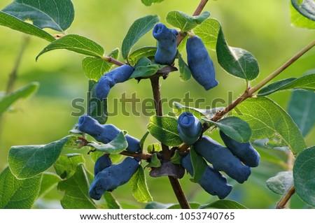 Blue honeysuckle (Lonicera caerulea var. edulis). Known also as Honeyberry, Blue-berry honeysuckle, Sweetberry honeysuckle and Haskap berry. Another scientific name is Lonicera edulis. #1053740765