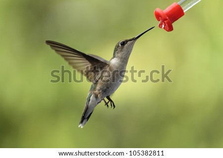 Female ruby throated Hummingbird feeding.