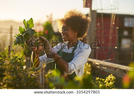 young african american woman inspecting beets just pulled from the dirt in community urban garden #1054297805