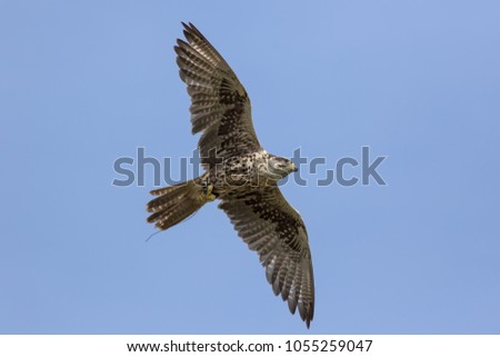 Saker falcon (Falco cherrug) flying. Bird of prey in flight gliding with wings outstreched. Directly above, picture from below.