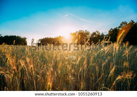 Summer Sun Shining Over Agricultural Landscape Of Green Wheat Field. Young Green Wheat In Sunset Dawn Time. June Month. #1055260913