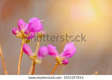 Beautiful Azalea Flowers during Spring season in South Korea. #1055297816