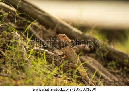 Garden Lizard. Garden_Lizard. Oriental Garden Lizards are agamid lizard found widely in Asian countries. These Changeable Lizards are territorial during breeding season and male can be easily distingu #1055301830
